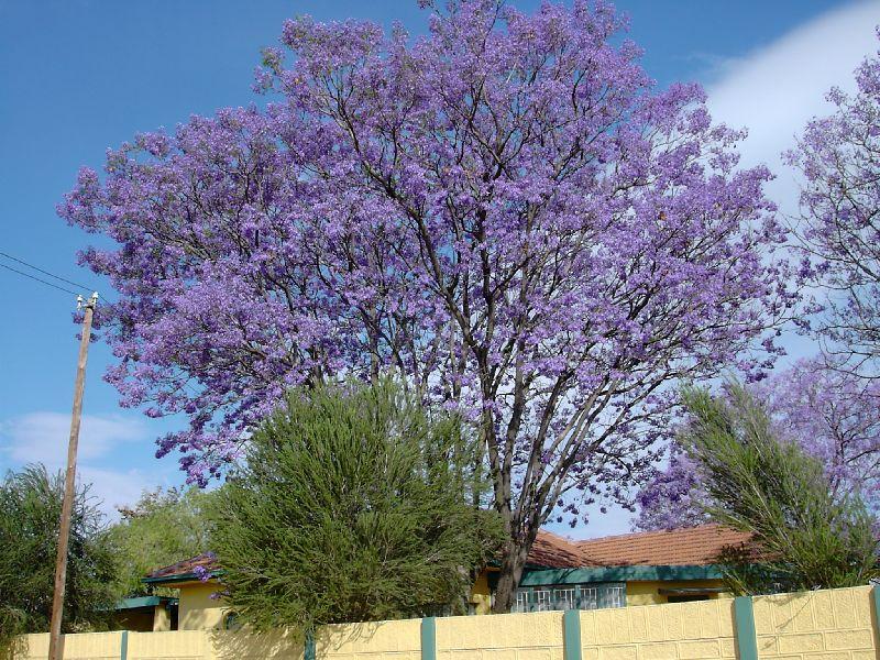Jacaranda_tree.jpg
